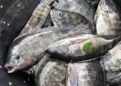 Ghana's Fisheries Commission revamps Fish Farming Certification Protocol