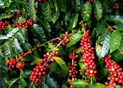 National Coffee Act, 2021 hailed by Ugandan farmers, stakeholders in coffee sector
